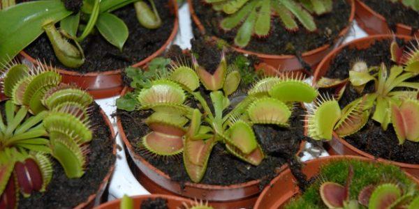 plantes-carnivores